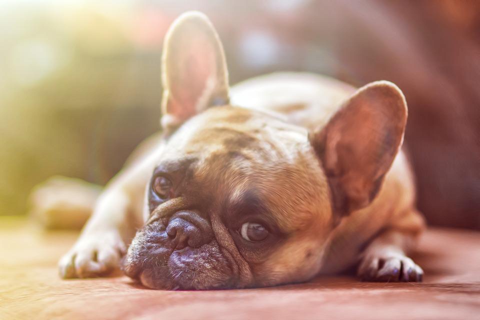 Combate El Miedo De Tus Perros A Los Petardos