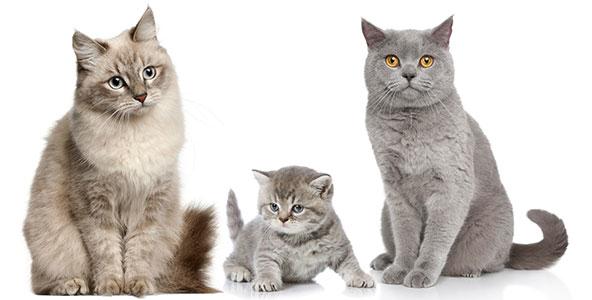 gats-blanc