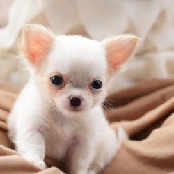 Quando é Que Se Deve Substituir A Ração De Cachorro Pela De Adulto?