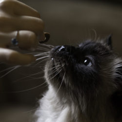 ¿El Gato Es Omnívoro O Carnívoro?