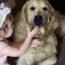 ¿Por Qué El Golden Retriever Es Ideal Para Hogares Con Niños?