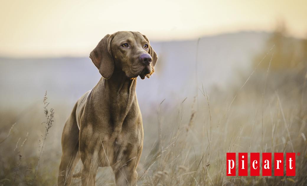 Cuál Es La Mejor Manera De Proteger El Sistema Inmunológico De Tu Perro