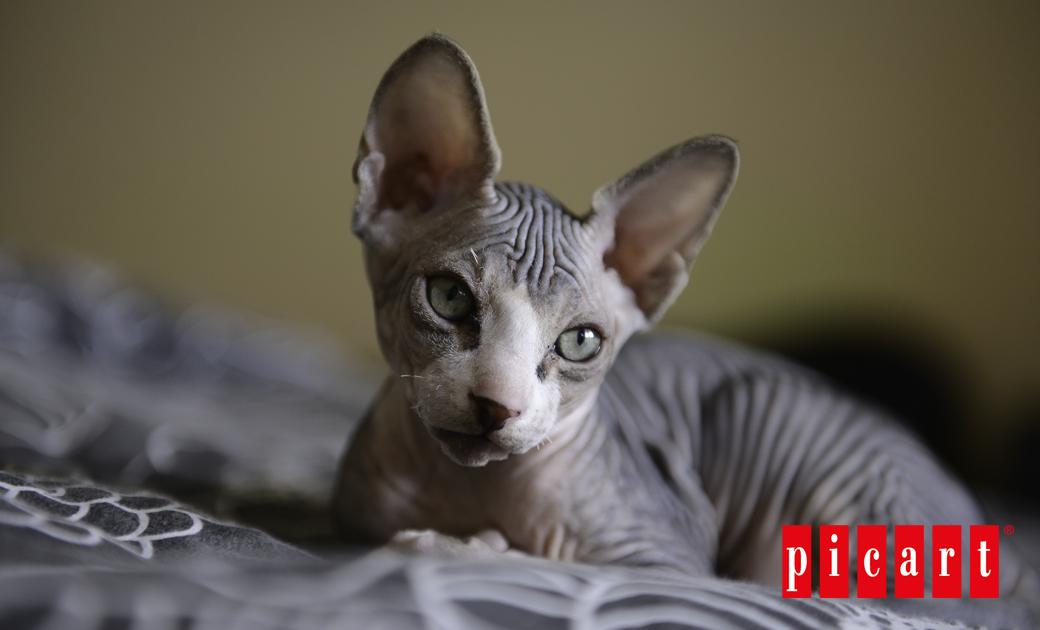 Gato Esfinge: Historia Y Curiosidades
