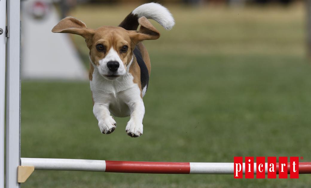 ¿Qué Es El Agility Para Perros?